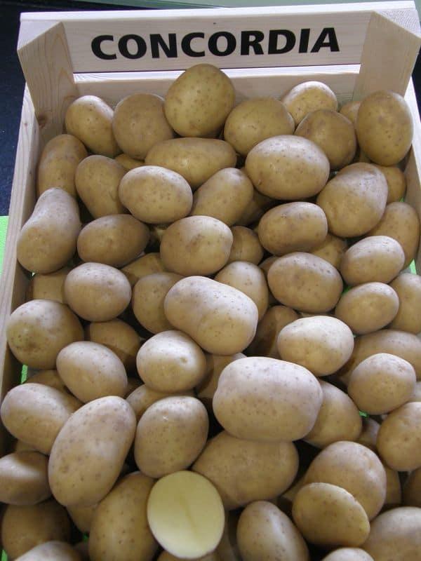 Sorta krompirja Concordia