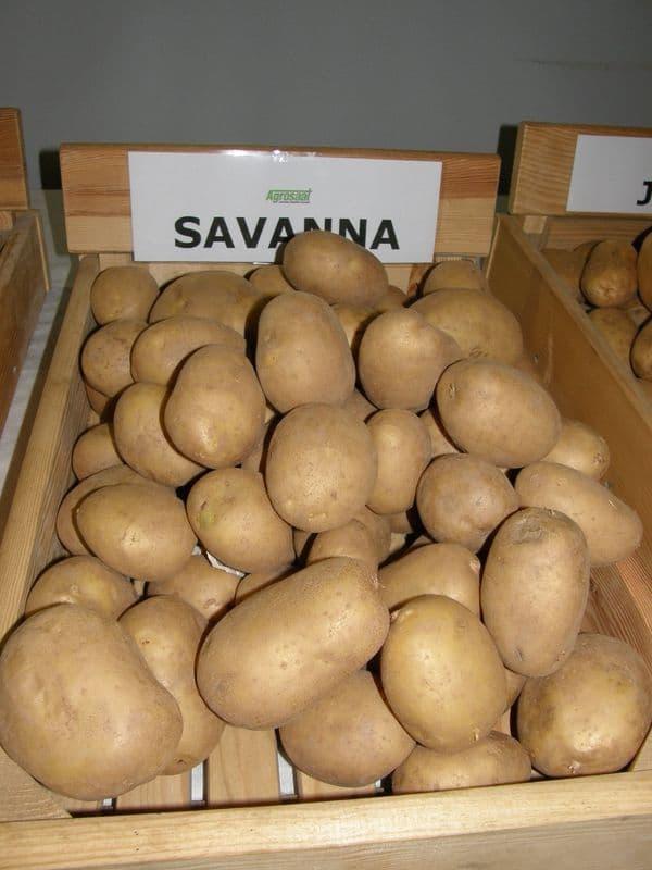 Sorta krompirja Savanna