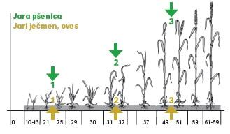Jara žita - tehnologija pridelovanja