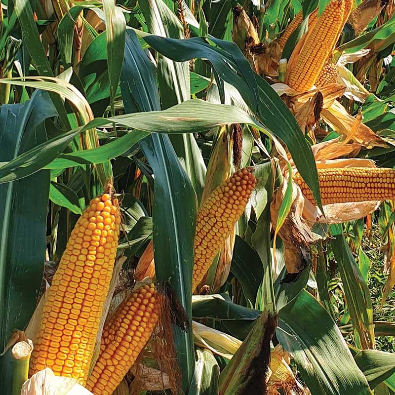 agrosaat-koruza-zrnje-texero-naslovna