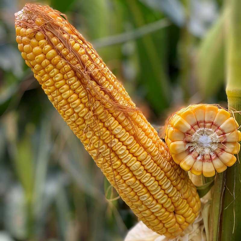agrosaat-koruza-zrnje-lg-30.685-naslovna