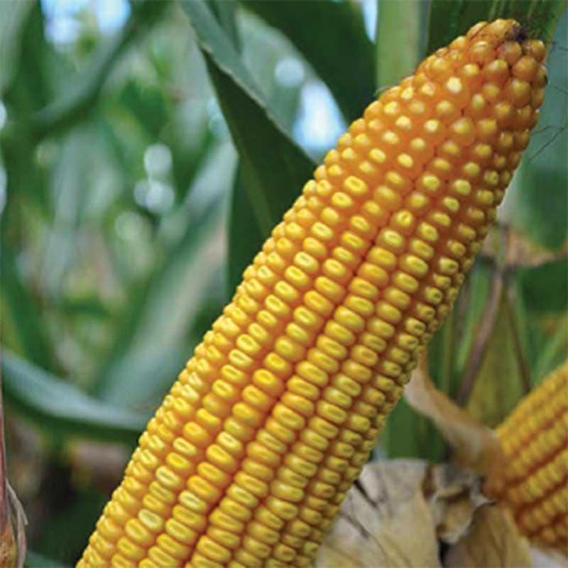 agrosaat-koruza-zrnje-lg-31.330